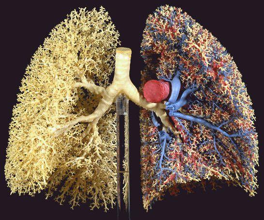 Pulmões, sistema respiratório.