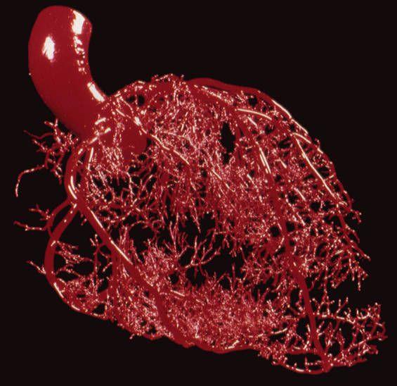 Sistema arterial do coração.